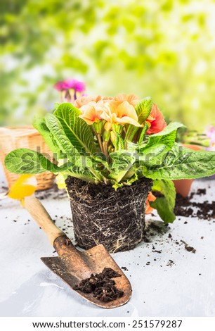 Primula flowers with soil and root on garden table with scoop over sunny nature background - stock photo