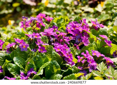 Primula or Primrose plants bloom pink flowers during spring, ornamental plants in garden in Poland. - stock photo
