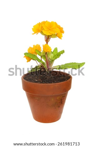 Primula plant with orange flowers in a terracotta pot isolated against white - stock photo