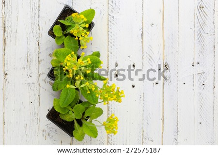 Primula veris common cowslip yellow flowers in black plant pots on white painted wooden background - stock photo