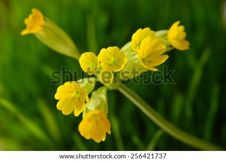 Primula veris on soft green background - stock photo