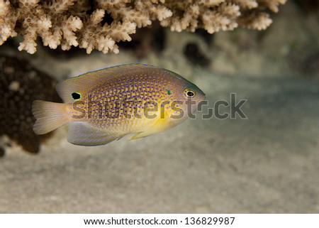 Princess Damsel (Pomacentrus vaiuli) on a tropical coral reef in Ulong Channel off the island of Palau in Micronesia. - stock photo