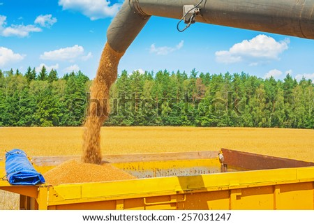 process of loading wheat grains from pipe of combine harvester on field in forest - stock photo