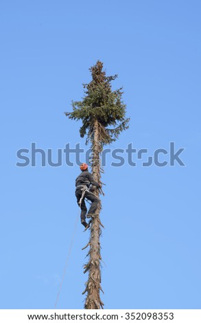 professional lumberjack climbing up a very high fir tree - stock photo
