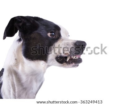 Profile head shot of mad dog growling and showing teeth isolated on white background - stock photo
