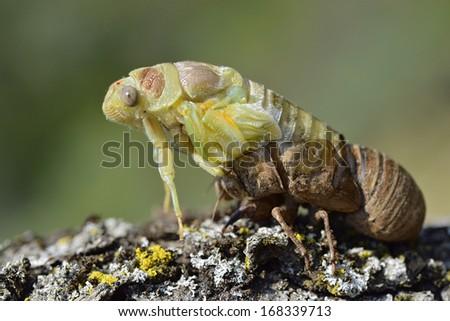 Profile macro of cicada (Lyristes plebeja) emerging from its exuvia - stock photo