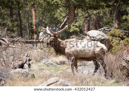 Profile of a beautiful bull elk in the woods - stock photo