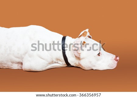 Profile of a beautiful large mixed breed dog laying down on a brown studio background - stock photo