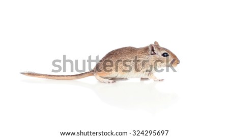 Profile of a gerbil isolated on a white background - stock photo