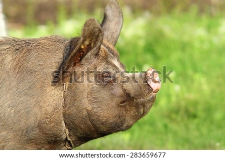profile of a pig with many rings in snout over green out of focus background - stock photo
