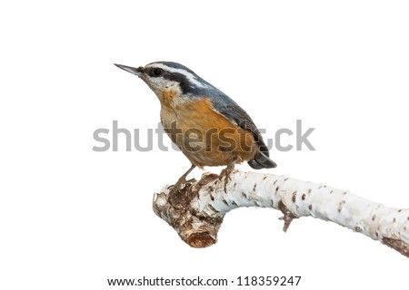 Profile of a red-breasted nuthatch perched on a white birch branch, white background - stock photo