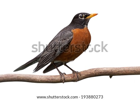Profile of a robin perched on a  branch. With Its head cocked sideways, its bright orange breast is prominently displayed. white background - stock photo