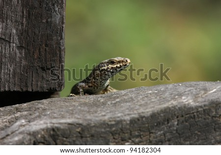 profile of a wall lizard Podarcis muralis - stock photo