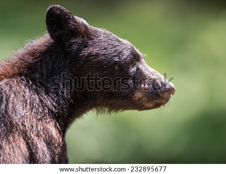 Profile of a young black bear that took a break from fishing to sit near photographer - stock photo