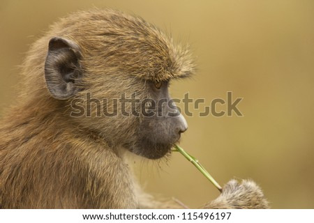 profile of a young olive baboon in the amboseli national park of kenya - stock photo