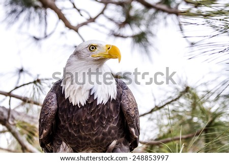Profile of American Bald Eagle sitting in tree on winter morning - stock photo