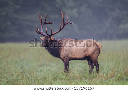 Profile of American male elk with full rack of antlers - stock photo