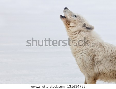 Profile of an arctic wolf howling.  Winter scene - stock photo