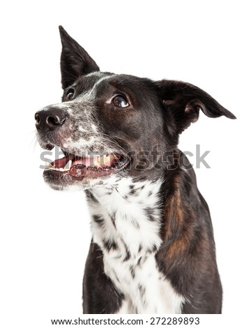Profile of an Australian Shepherd Mixed Breed Dog.  Mouth is open, dog appears to be smiling.  - stock photo