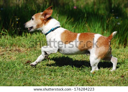 Profile of an old little purebred Parson Jack Russell Terrier dog running free in nature. - stock photo