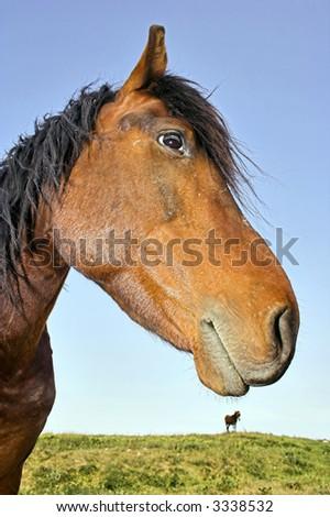 Profile of Domestic Horse - stock photo