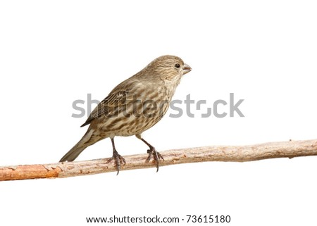 profile of female purple finch peering out out while sitting on a branch; white background - stock photo