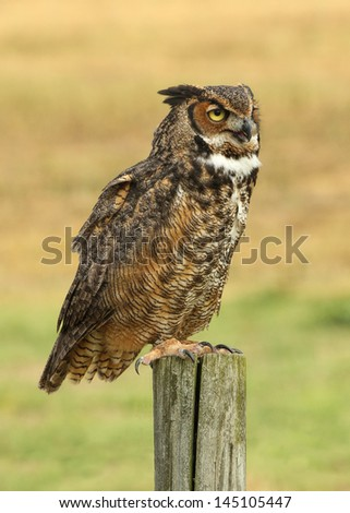 Profile of Great Horned Owl - stock photo
