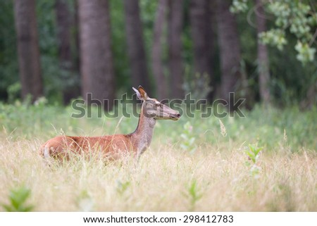 Profile of hind walking in high grass in forest - stock photo