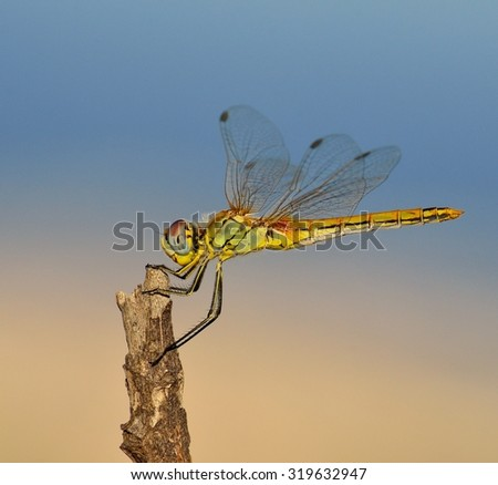 Profile of sympetrum dragonfly - stock photo
