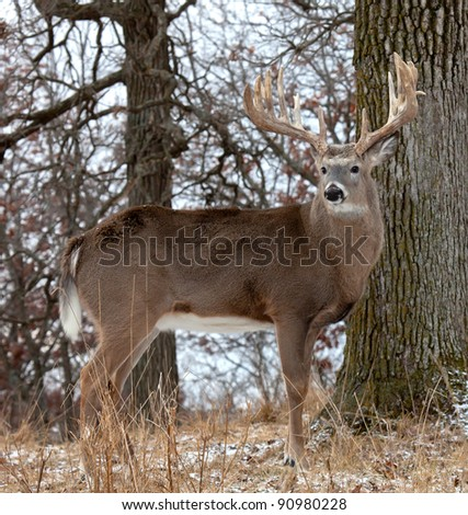 Profile of white-tail deer. - stock photo