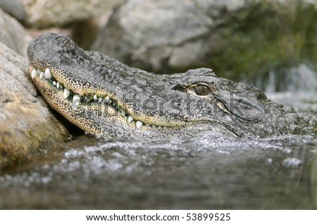 Profile portrait of a American alligator (Alligator mississippiensis) in water - stock photo