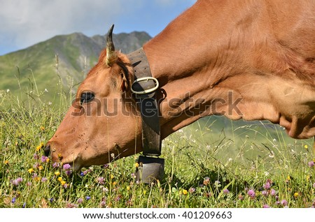 Profile portrait Tarine grazing with bell necklace in the french Alps in Savoie department at La Plagne - stock photo