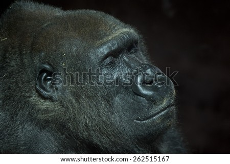 Profile shot of a peaceful resting but critically endangered old male mountain gorilla smiling serenely with eyes closed against a dark background - stock photo