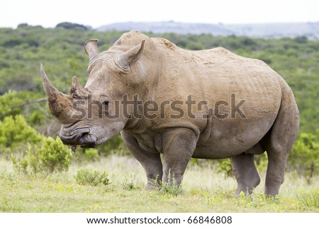 Profile view of a white rhinoceros - stock photo
