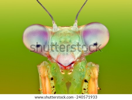 Prohierodula picta mantis macro natural - stock photo