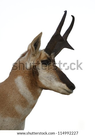 Pronghorn Antelope buck, portrait isolated on white background, Flathead Indian Reservation, Montana; big game hunting; stag; deer; wildlife - stock photo