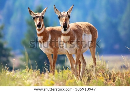 pronghorn antelope Yellowstone - stock photo