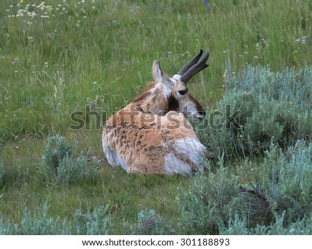 Pronghorn dear, Yellowstone National Park, Wyoming, USA - stock photo