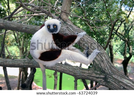 """Propithecus verreauxi verreauxi (the dancing lemur): a large lemur called """"the dancing lemur"""" because of the way it walks (sideways and balancing body from one foot to the other). Shot in Madagascar. - stock photo"""