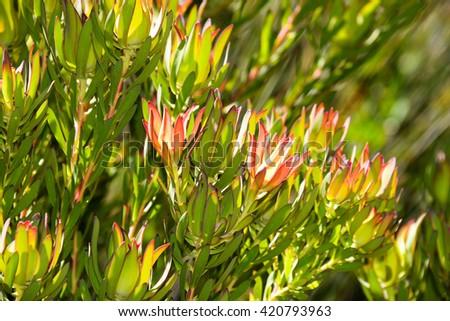 Proteas, Cape Flower Kingdom - stock photo