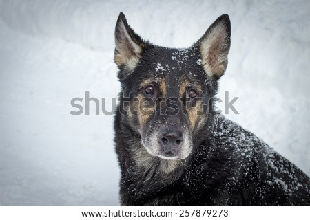 Protect Pets From The Cold. Older German Shepherd sitting in the snow staring at the camera with sad eyes. - stock photo