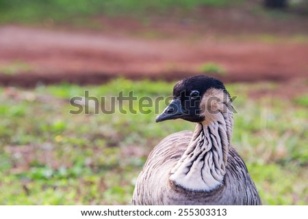 Protected Hawaiian Goose, Ne-Ne, on Kauai, Hawaii - stock photo
