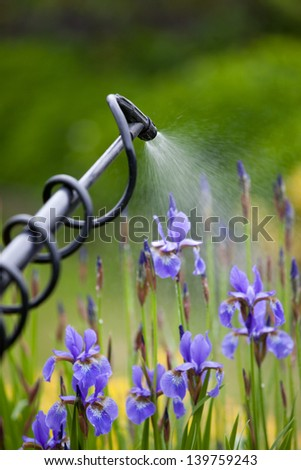 Protecting iris flower plant from vermin with pressure sprayer - stock photo