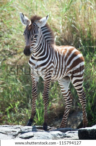 Proud Baby / A baby Zebra stands on a rock during the Great Migration, Serengeti National Park, Tanzania. - stock photo