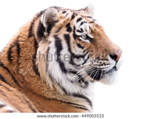 Proud tiger isolated on white background - stock photo