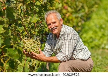 Proud viticulturist showing big grape cluster in vineyard - stock photo
