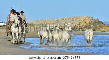 PROVENCE, FRANCE - 07 MAY, 2015: White horses of Camargue running through water. Nature reserve in Parc Regional de Camargue   - stock photo