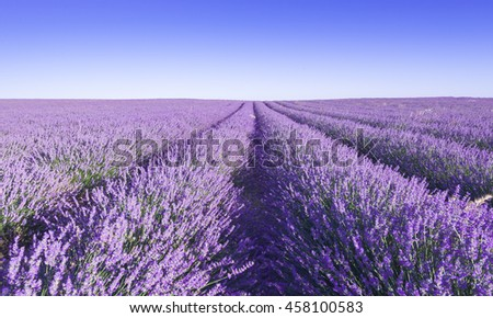 Provence, Lavender field at day. - stock photo