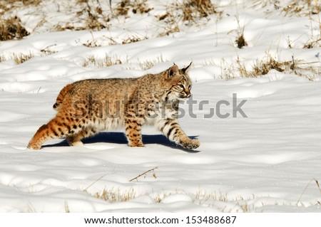 Prowling bobcat - stock photo