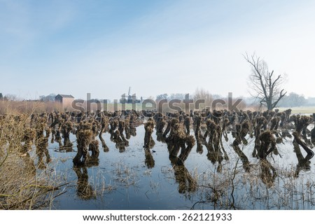 Pruned pollard willows in a flooded field. It is early in the morning at the end of the winter season and in the distance is still some morning mist. - stock photo